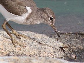 A Common Sandpiper Coming Face-to-Face with A Wasp