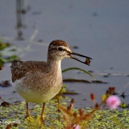 Wood Sandpiper– feeding and prey during migration