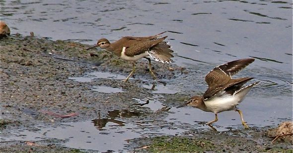 Common Sandpipers' Tail-Fanning & Raised-Wings Displays