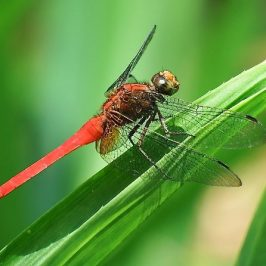 SCARLET SKIMMER MATING and OVIPOSITING