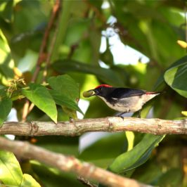 Scarlet-backed Flowerpecker: 1. Introduction to nesting behaviour