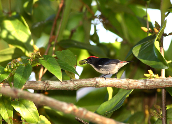 Scarlet-backed Flowerpecker -mistletoe [wyc]