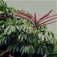 Plant-Bird Relationship: 12.  Agavaceae, Amaranthaceae, Araceae, Araliaceae and Avicenniaceae