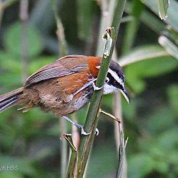Birding in Taiwan: 1. Taiwan Scimitar-babbler