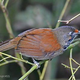 Birding in Taiwan: 2. Black-necklaced Scimitar-babbler