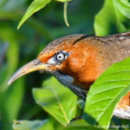 Rusty-cheeked Scimitar-babbler – calls
