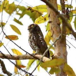 Oriental Scops-owl fluttering