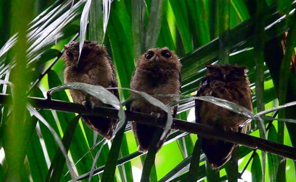 Sunda Scops-owls roosting