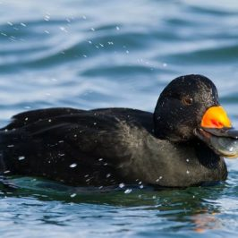 Black Scoter takes a mollusc