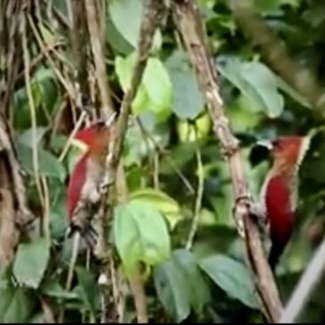Banded Woodpeckers' dance