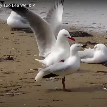 Silver gulls mating