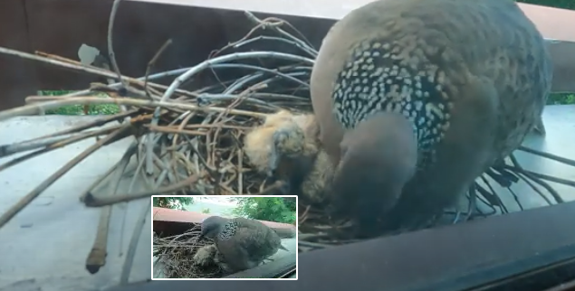 Nesting of spotted doves (Spilopelia chinensis) Part 2: From nest to chicks