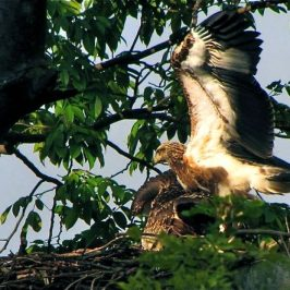 White-bellied Sea-eagle just before fledging