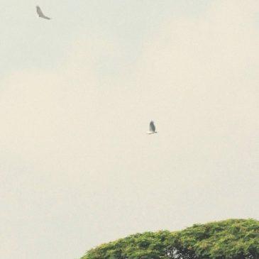 White-bellied Sea-eagle – Threesome