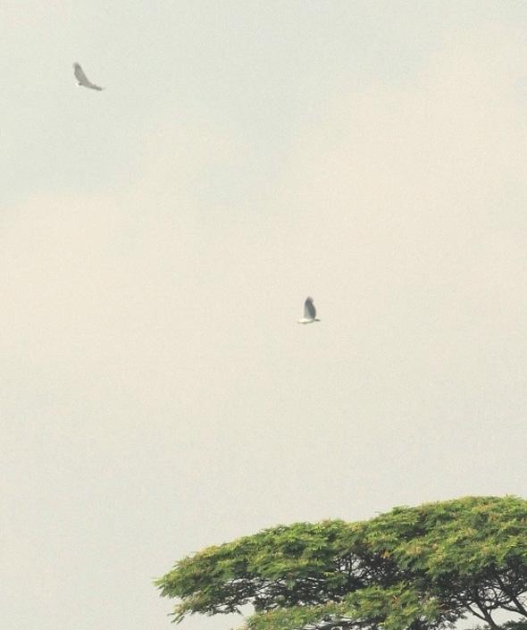 SeaEagleWB [ThongChowNgian]