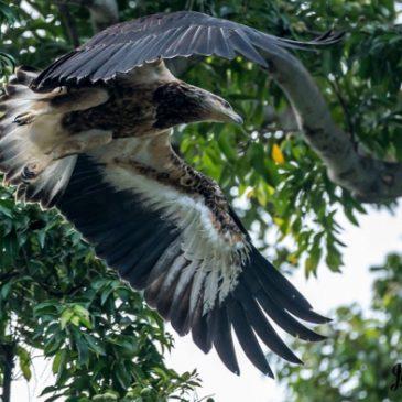 Juvenile White-bellied Sea-eagle – moulting
