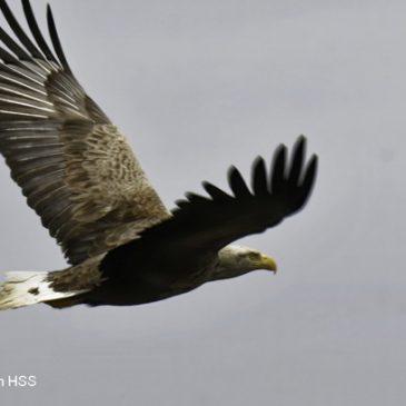 White-tailed Sea-eagle – adults