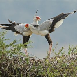 Courtship display of the Secretarybird