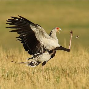 Secretarybird catches an insect