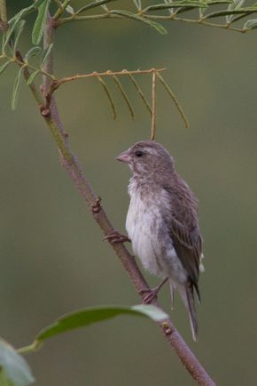 Yellow-fronted Canary and White-rumped Seedeater spotted