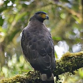 The beauty of the beast: Crested Serpent-eagle