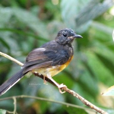 White-rumped Shama bathing in a forest stream