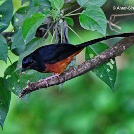White-rumped Shama – prey