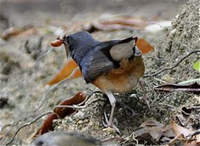 An immature male White-rumped Shama?