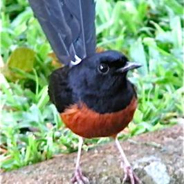 Call of the male White-rumped Shama