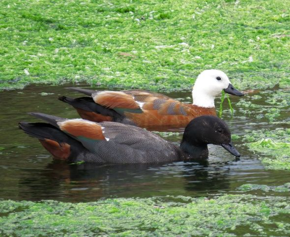 PARADISE SHELDUCKS FEEDING