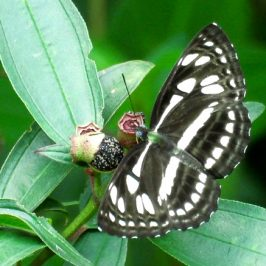 Short Banded Sailor (butterfly) feeding