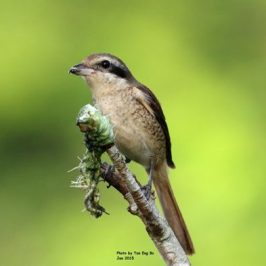 Brown Shrike impales caterpillar