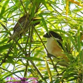 Diet and feeding behaviour of the Long-tailed Shrike