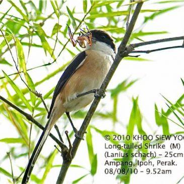 Diet and feeding behaviour of the Long-tailed Shrike