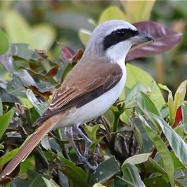 An unknown shrike