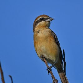 Brown Shrike <em>Lanius cristatus</em> – adult female