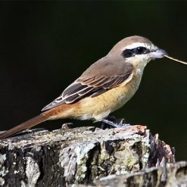 Brown Shrike– adult female with nesting material and behaviour