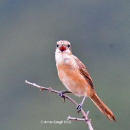Brown Shrike – first winter