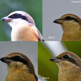 The Variable Brown Shrike