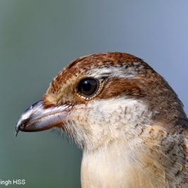 Too close for comfort – Brown Shrike