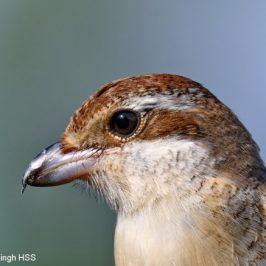 Too close for comfort – Brown Shrike