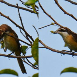 Brown Shrike – feeding technique