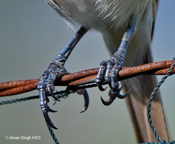 ShrikeBr claws [AmarSingh]