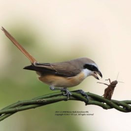 Brown Shrike feeding on a grasshopper