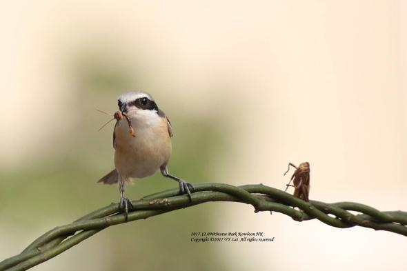 ShrikeBr-grasshopper [LaiYYan]