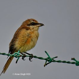 Brown Shrike in moult
