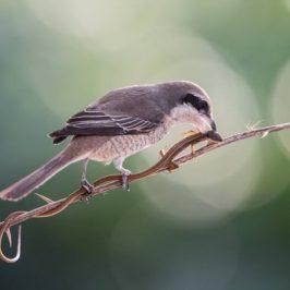Brown Shrike and a Grass Lizard