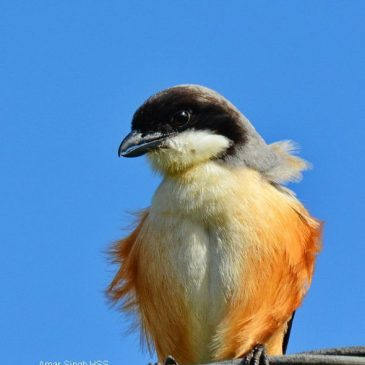 Less common views of the Long-tailed Shrike