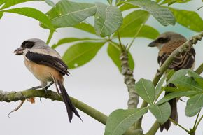 Long-tailed Shrikes and fledglings