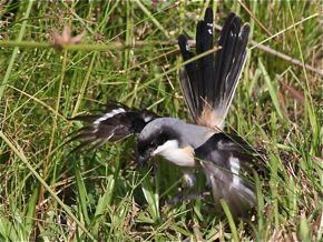 Long-Tailed Shrike Catches A Caterpillar